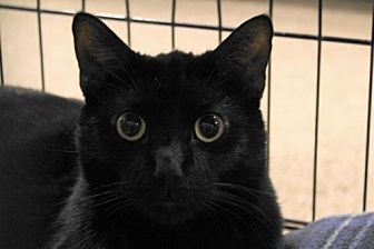 Domestic Shorthair Cat for adoption in Las Vegas, Nevada - Jonah (Big Jonah)