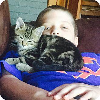 Domestic Mediumhair Kitten for adoption in Greensburg, Pennsylvania - Autumn