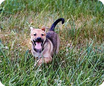 Corgi Mix Dog for adoption in ST LOUIS, Missouri - Pudge