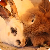Lionhead Mix for adoption in Hillside, New Jersey - Hugs and Kisses