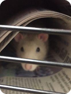 Rat for adoption in Manchester, New Hampshire - Emile,Remie&Linguine@Petsmart