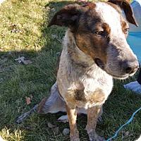 Australian Cattle Dog Mix Dog for adoption in Chicago, Illinois - Novella