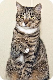 Domestic Shorthair Cat for adoption in Cashiers, North Carolina - Pheonix