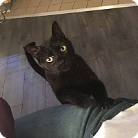 Adopt A Pet :: Jack Black - Chicago, IL