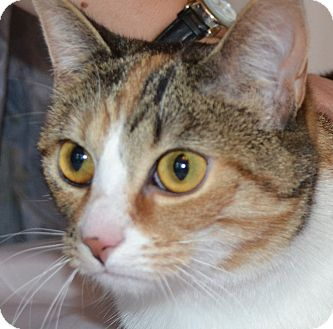Domestic Shorthair Cat for adoption in Bedford, Virginia - Yasmina