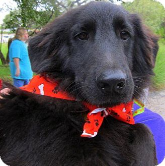 Flat-Coated Retriever Mix Dog for adoption in Driftwood, Texas - Prince