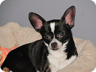 Chihuahua/Boston Terrier Mix Dog for adoption in Cambridge, Ontario ...
