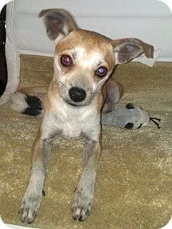 Jose Pending Adopted Dog Linden Nj Chihuahua