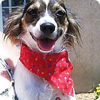 Adopt A Pet :: Mercee - Torrance, CA