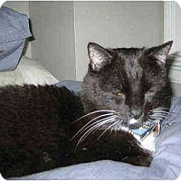 Adopt A Pet :: Luke: Feline Teddy Bear! - Quincy, MA