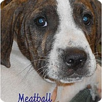 Adopt A Pet :: Meatball - Toledo, OH