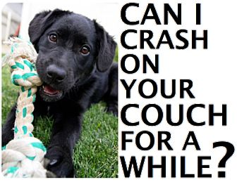 Labrador Retriever/Hound (Unknown Type) Mix Puppy for adoption in Wakefield, Rhode Island - FOSTER HOMES NEEDED!