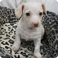 Adopt A Pet :: Jack - La Habra Heights, CA