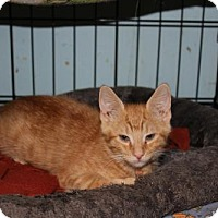Adopt A Pet :: Tiger - Cypress, TX