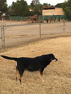 Shepherd (Unknown Type) Mix Dog for adoption in Nuevo, California - Rosie