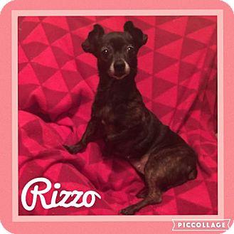Chihuahua Dog for adoption in Columbia, Maryland - Rizzo