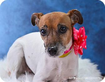 Jack Russell Terrier Mix Dog for adoption in Miami, Florida - Jackie