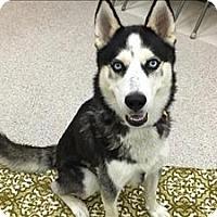 Adopt A Pet :: Dusty - Portland, OR