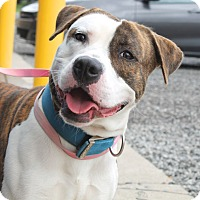 Adopt A Pet :: Spot - Wyandotte, MI