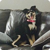 Adopt A Pet :: Velvet - Princeton, MN