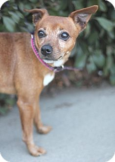 Rat Terrier/Chihuahua Mix Dog for adoption in Goleta, California - Donna