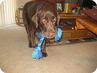 Labrador Retriever Dog for adoption in Ocean Ridge, Florida - Jake