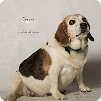 Adopt A Pet :: Copper - Chino Hills - Chino Hills, CA