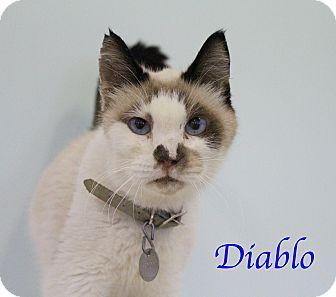 Siamese Cat for adoption in Bradenton, Florida - Diablo