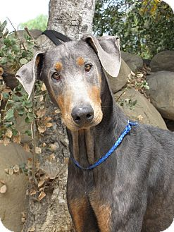 Doberman Pinscher Dog for adoption in Fillmore, California - Simba