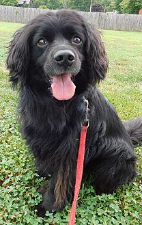 Cocker Spaniel/Retriever (Unknown Type) Mix Dog for adoption in Hedgesville, West Virginia - Berkley