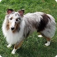 Sheltie, Shetland Sheepdog Dog for adoption in Stony Brook, New York - Dewey
