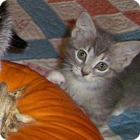 Adopt A Pet :: Gwenie-Stunning Sept kitten - Taylor Mill, KY