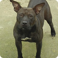 Pit Bull Terrier Mix Dog for adoption in Salem, Oregon - Starlight