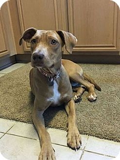 Vizsla Mix Dog for adoption in Plano, Texas - Emma