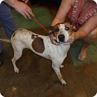 Treeing Walker Coonhound Mix Dog for adoption in Lacombe, Louisiana - JANICE