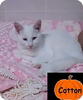 Domestic Shorthair Cat for adoption in Broadway, New Jersey - Cotton