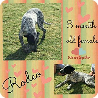 Australian Cattle Dog Dog for adoption in Big Spring, Texas - Rodeo Princess
