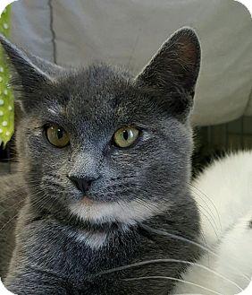 Domestic Shorthair Kitten for adoption in Wayne, New Jersey - Fallon