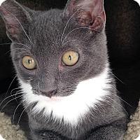 Adopt A Pet :: Brava - Fairfax, VA