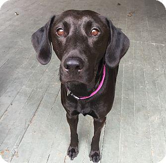 Labrador Retriever Mix Dog for adoption in San Francisco, California - Bella