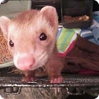 Adopt A Pet :: Nibbles - Raleigh, NC