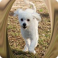 Adopt A Pet :: Sammy - S. TX - Tulsa, OK