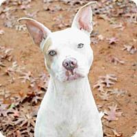 Adopt A Pet :: CLARA - Tallahassee, FL