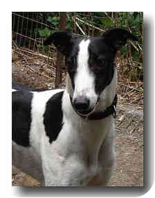 Greyhound Mix Dog for adoption in Roanoke, Virginia - Mick
