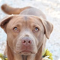 Adopt A Pet :: Georgia - Fairfax Station, VA