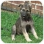 Photo 2 - German Shepherd Dog Puppy for adoption in Pike Road, Alabama - Roxie