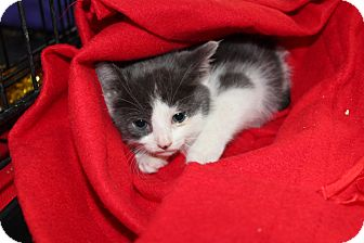 Maine Coon Kitten for adoption in Santa Monica, California - Olive