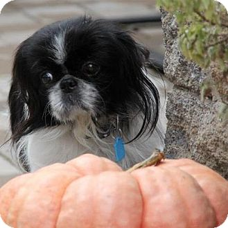 Pekingese Mix Dog for adoption in Virginia Beach, Virginia - Macaroon