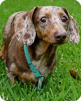 Dachshund Dog for adoption in Baton Rouge, Louisiana - Bella