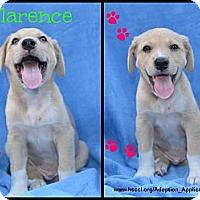 Adopt A Pet :: Clarence - Plano, TX